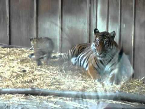 Bima and Mali: 3-month old Sumatran tiger cubs, and mom Jaya, at Point Defiance Zoo and Aquarium