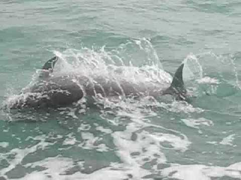 Dolphins in Pine Island Sound