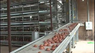 Xem người Mỹ nuôi gà, lấy trứng dọn phân tự động quá đỉnh | Raise Chickens for eggs
