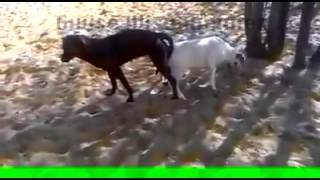 Download Misdirected Mating Between a Dog and a Goat 3Gp Mp4