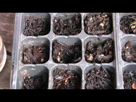 How To Grow Jacaranda Trees From Seeds