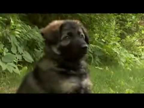 The dog breed German Shepherd Alsatian Deutscher Schferhund popular dogs breed