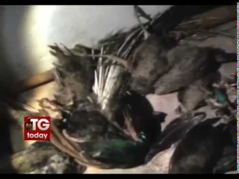 Peacocks killed by poisoning food