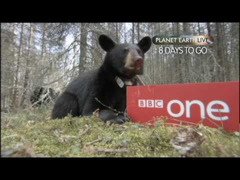 Planet Earth Live - Bear Countdown: 8 days to go - BBC One