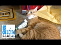 KUCING LUCU - kucing lucu banget bikin ngakak