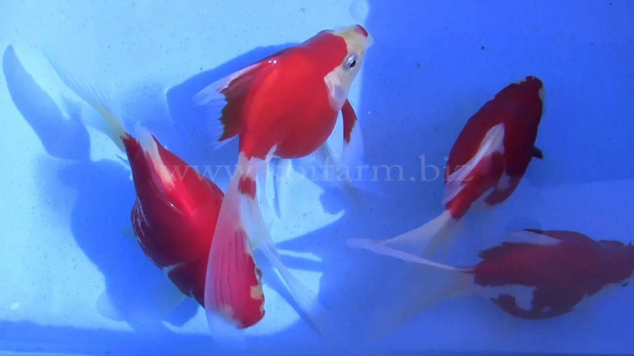 Sabao goldfische premium jumbo 1 youtube for Koi und goldfische