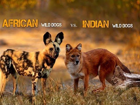 African Wild Dog Vs Indian Wild Dog thumbnail