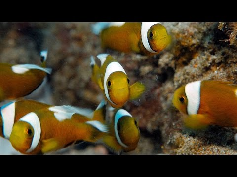 "A school of 9 young saddleback clownfish, Amphiprion polymnus, at Balanoy (Secret Garden) in Anilao in the Philippines swim against the current next to an anemone that's really far too small for them.  Thanks to anilao PHOTO hotel (https://www.facebook.com/anilaophotohotel) for diving services and to keen-eyed divemaster Obet for spotting this surprising little school of clownfish, also known as saddleback anemonefish, in the shallows.  Thanks to Kevin MacLeod of http://www.incompetech.com for the music track, ""Amazing Plan"" which is licensed under a Creative Commons Attribution 3.0 Unported license.  Thanks to Farrin N. Abbott of www.CopyCatFilms.com for the silent movie title card.  The video was shot by Nick Hope with a Panasonic GH4 in a Nauticam NA-GH4 housing. I used an Olympus M.Zuiko ED 12-50mm f3.5-6.3 EZ lens.  I have more scuba diving videos and underwater footage on my website at: http://www.bubblevision.com  I post updates about my videos here: http://www.facebook.com/bubblevision http://google.com/+bubblevision http://www.twitter.com/nicholashope http://bubblevision.tumblr.com"