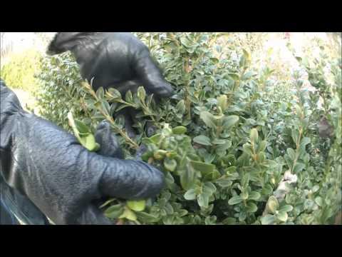 Jak Zagęścić Bukszpan Krzewy W Ogrodzie Obrywanie Gałązek,porady Ogrodnicze