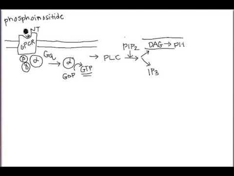Phosphoinositide signaling cascade - memorization aid