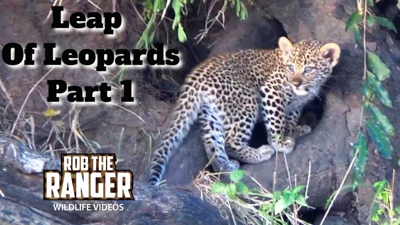Leap of leopards mother and cubs 1 the den youtube