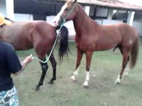 égua Cruzada com um Cavalo Sangue Puro Quarto de milha