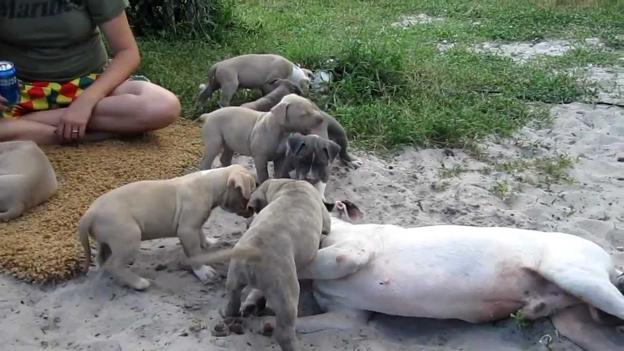Blue Nose Pitbull Puppies Playing with Rescue Bull Terrier ...