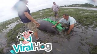 People Try To Help Beached Manatee