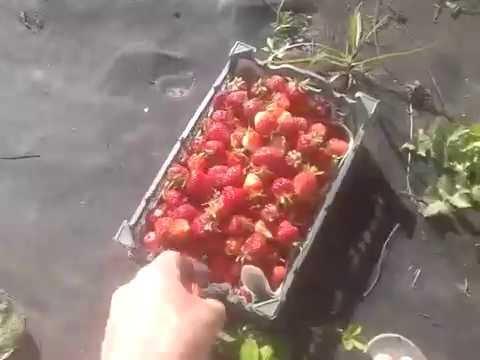 Выращивание земляники на агроволокне – мои отзывы и «технология»
