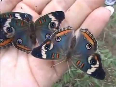 Butterfly Farmer Edith Smith Blue Buckeye Butterfly