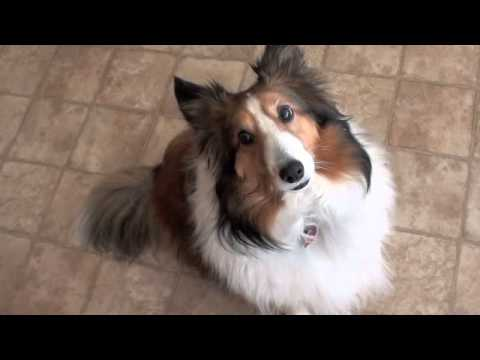 Guilty Sheltie