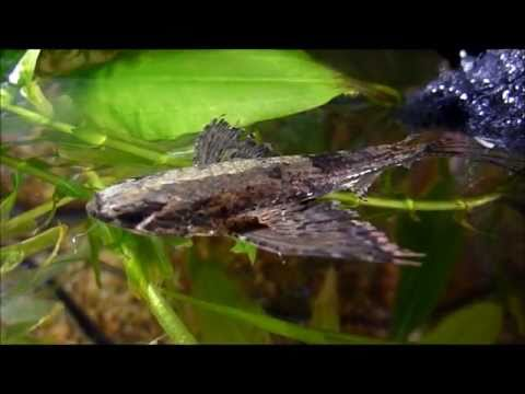 African Butterfly Fish on Butterfly Fish     Dictionary Definition Of Freshwater Butterfly Fish