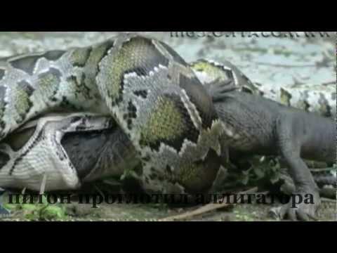 huge python swallowes an alligator/питон проглотил аллигатора