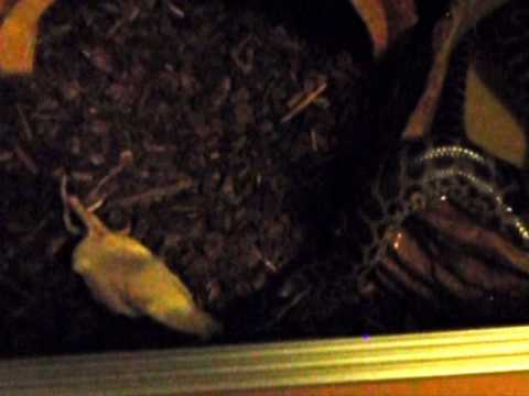 Yellow Anaconda Hunts Dead Rat