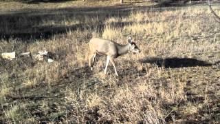 Deformed Deer in The Pinery, Colorado