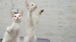Two Cats Trying to catch Clips    two Funny Cats  