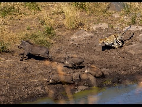 **RARE** LEOPARD HUNTING WARTHOG - THE KRUGER NATIONAL PARK