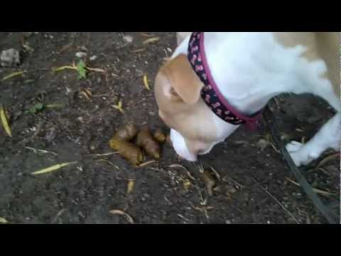 Pitbull takes a big dump and eats it!