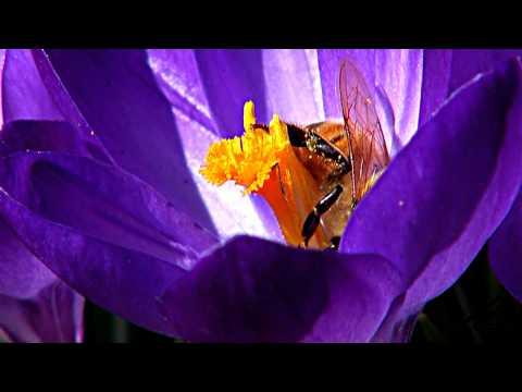Honey bee decline spreading globally