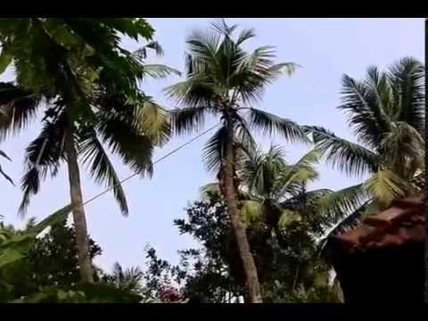 Coconut Tree Cutting
