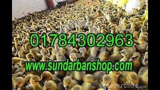 খামার হাঁসের  বাচ্চার ব্রুডিং ব্যবস্থাপনা ,Krishi Bangladesh 01784302963