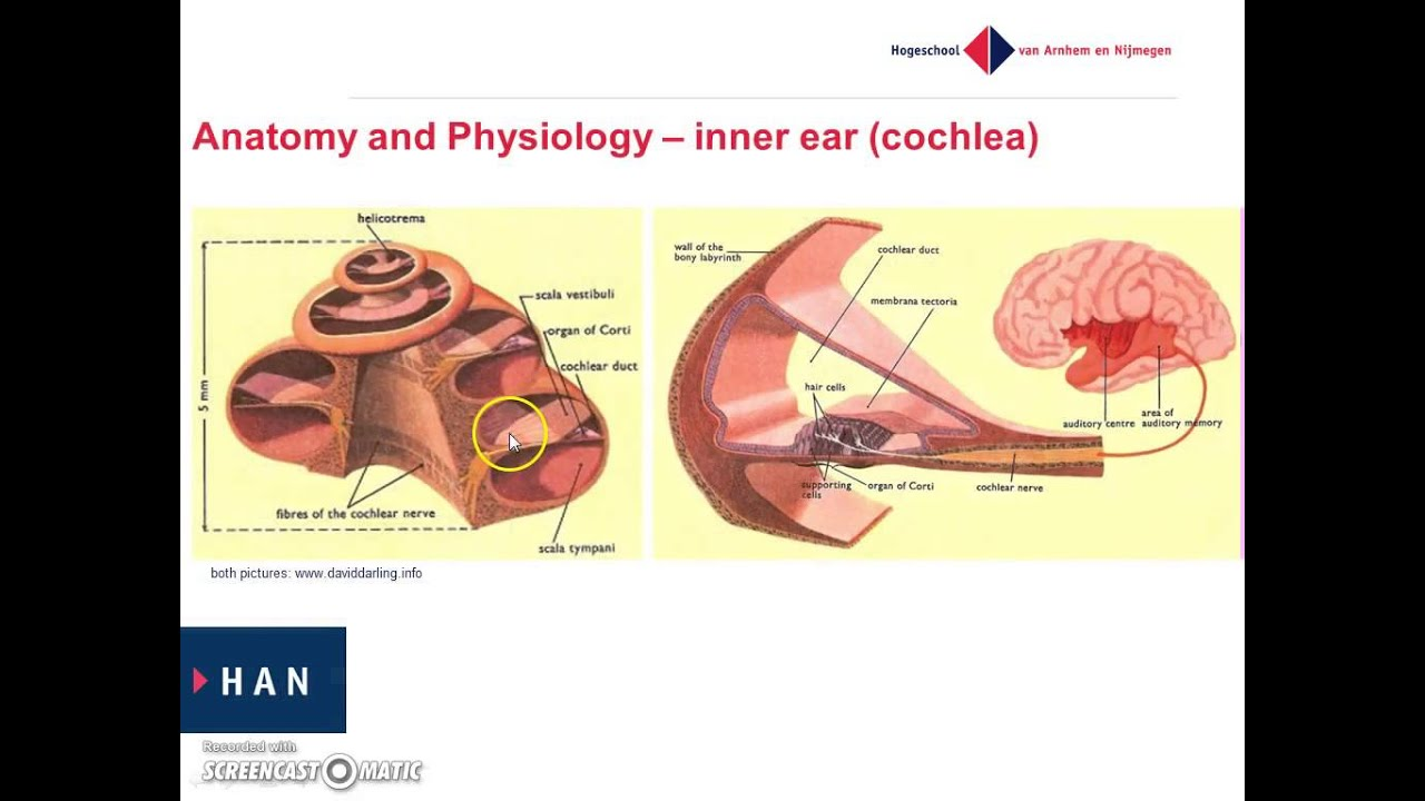 Anatomy and Physiology of the Ear Health Encyclopedia 4337531 ...