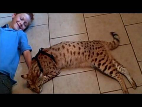 A Beautiful Relationship - Savannah Cat Magic And Andreas Stucki. video
