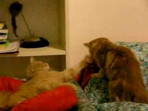 gatti pazzi mad cats fighting!! paperissima la vendetta!