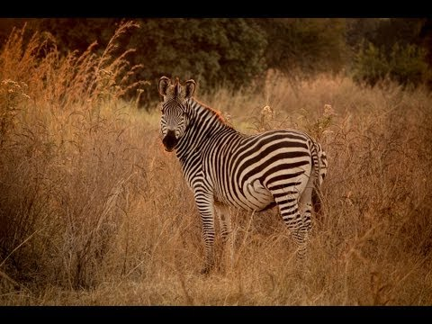 The South Luangwa Safari (HD Nature Footage)