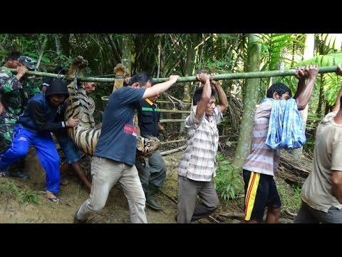 Warga Ranah Pesisir Tangkap Harimau Sumatera