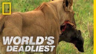 World's Deadliest - Lions vs. Warthog