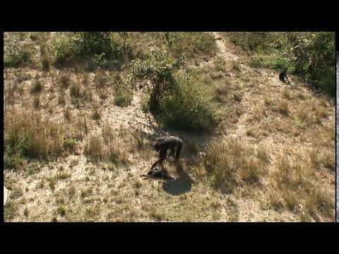 madre chimpance llora la muerte de su hijo.wmv