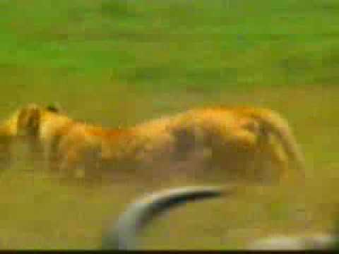 bufalo espanco leão.wmv