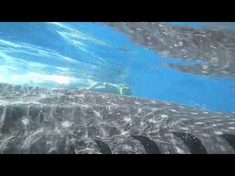Whale Shark diving Holbox Playa del Carmen