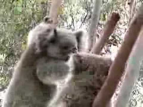 Koala kicking out room mate Australia