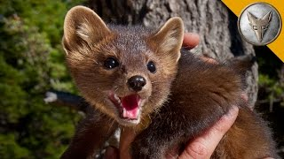 The Pine Marten is Nature