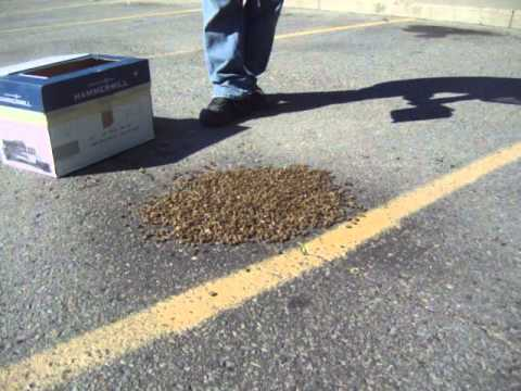 My First Honey Bee Swarm Capture June 12, 2013