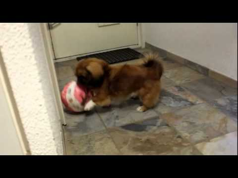 Young Tibetan Spaniel playing football with Hello Kitty ball