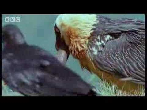 Wild African vulture birds scavage bones of dead animals - BBC wildlife