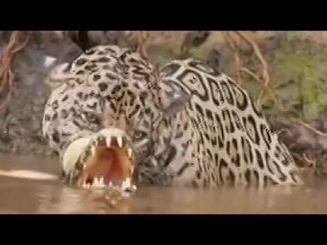 Jaguar attacks crocodile under the Water