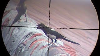 Air rifle hunting #2 Shooting magpies - pest control