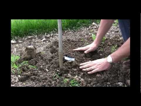 How to Plant a Grape Vine - Gurney's Video