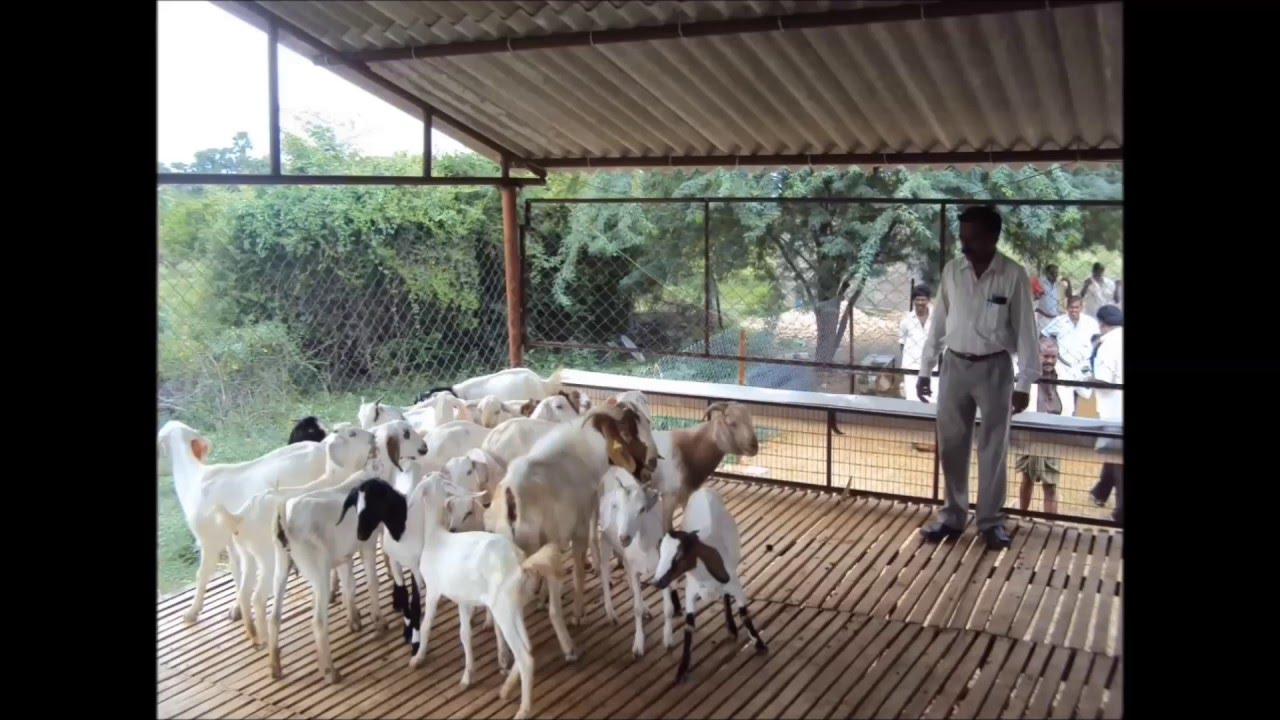 Indian goat farm shed