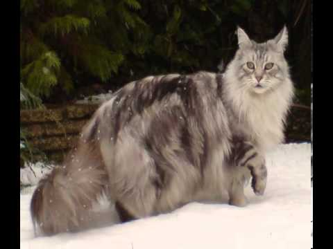long haired domestic cat breeds